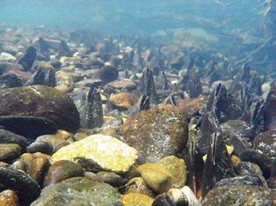 写真2 カワシンジュガイの親貝の集団。