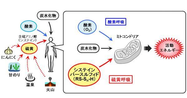 図2 硫黄呼吸の模式図(提供・東北大学)