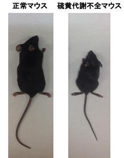 写真 正常マウスと硫黄代謝不全のマウス(提供・東北大学)