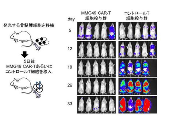 図2 MMG49・CAR-T細胞療法の効果。光(青や赤の色が付いている)の強さが腫瘍量を反映。「コントロールT細胞投与群(図右)」では、腫瘍量が時間の経過とともに増加、あるいはマウスが死亡(写真中の匹数で分かる)。MMG49・CAR-T細胞を投与した群(図左)では腫瘍量は増加せずMMG49・CAR-T細胞による著明な抗腫瘍効果が認められた(提供・大阪大学の研究グループ)