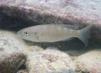写真1.研究対象となった鱗食魚、ペリソダス・ミクロレピス 出典:プレスリリース