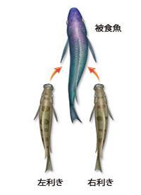 図1.左利きの鱗食魚と右利きの鱗食魚の襲撃方向 出典:プレスリリース