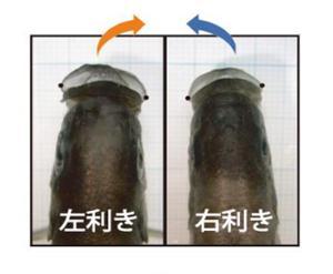 写真2.左利きの鱗食魚は左あごが大きく発達し、右に傾いている。右利きはその逆。 出典:プレスリリース