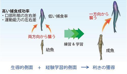 図2. 左利きの鱗食魚の捕食行動の発達メカニズムについての研究グループの考察 出典:プレスリリースの資料を一部編集