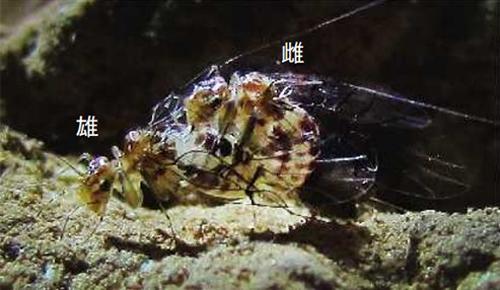 写真1 交尾状態のトリカヘチャタテ。体長3ミリ。昆虫の一般的な交尾と異なり、雄の上に雌が乗りかかる姿勢で交尾する。(吉澤和徳さん提供)