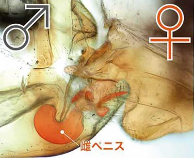 写真2 トリカヘチャタテの雌ペニスが雄に挿入された状態(吉澤和徳さん提供)