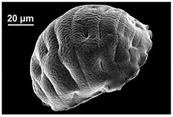 写真2.乾眠状態のヨコヅナクマムシ 体の水分は1〜2%に減り、カラカラに乾燥している 出典:プレスリリース