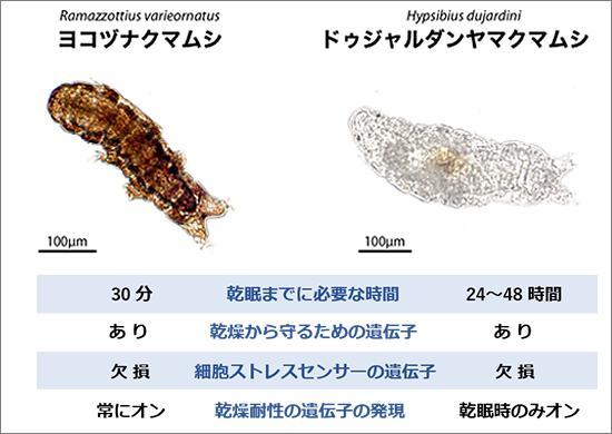 図2.2種類のクマムシの比較 出典:プレスリリースの資料を一部編集