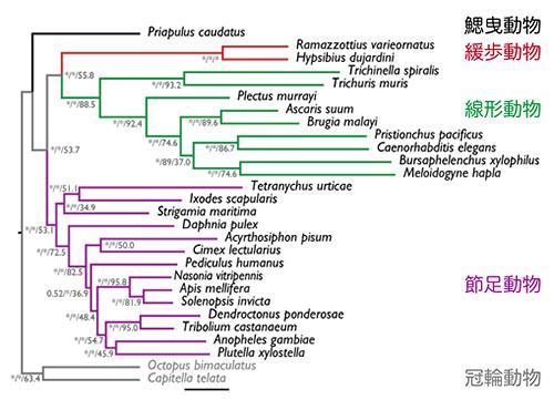 図3.ゲノム情報の解析から得られた系統樹。分岐点の数値(%)は、3つの計算手法でその分岐がどれだけ信頼できるかを表す。「*」は100%を意味する。クマムシが属する緩歩動物(赤)と一番近縁なのは線形動物(緑)、次に近縁なのが節足動物(紫)であることを示す。 出典:プレスリリース