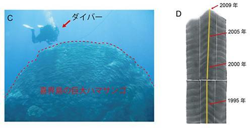 図 喜界島の巨大なハマサンゴ(左)。年齢は約430歳。右は、サンゴの「土台」のエックス線写真。年輪のような濃淡の縞が1年に1層ずつ重なっていく。中央の黄色い線は、いちばん成長の速い部分。(窪田さんら研究グループ提供)