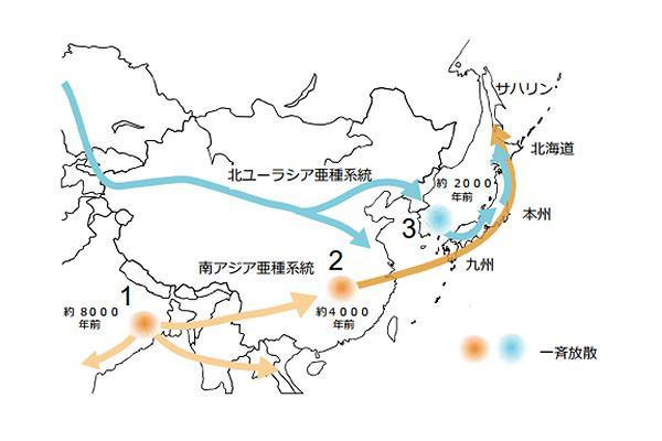 図 遺伝的解析に基づき想定された主要2亜種系統の日本列島への移入。過去の研究成果も踏まえ、日本列島への野生ハツカネズミは以下のような流れで移入・展開したと考えられる。(1)南アジア亜種系統はインドに起源地を持ち、約8000年前に放散。その後(2)中国南部に移入した系統が珠江流域において4000年前に放散し、日本列島及び南サハリンまで波及した(3)北ユーラシア亜種系統は朝鮮半島にとどまっていた系統が約2000年前に放散現象を起こし、日本列島に九州経由で移入した。移入後しばらく時間が経過した後(例えば1000年前)北ユーラシア亜種系統は東北及び北海道に南アジア系統と交雑しながら北方移動した(図説明・鈴木仁北海道大学教授ら研究グループ)(提供・北海道大学)