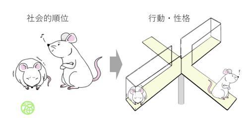 図 国立遺伝学研究所の研究グループは、ケージ内で形成される社会的順位がマウス個体の行動・性格や脳内の遺伝子発現に影響を及ぼすことを明らかにした(提供・国立遺伝学研究所)