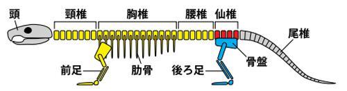 図1 脊椎動物の骨格パターン(提供・名古屋大学など研究グループ)