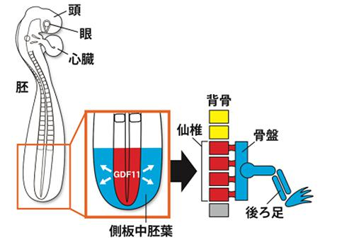 図2 仙椎の位置に必ず後ろ足が作られる仕組み(提供・名古屋大学など研究グループ)