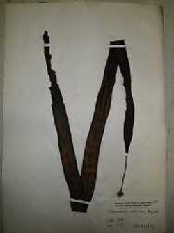 図1 北海道大学総合博物館が所蔵しているコンブの標本の一例(栗林さんら研究グループ提供)