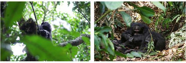 写真 乾季がほとんどないないコンゴ共和国・ワンバの雨中の樹上でじっとするボノボ(左)ギニア・ボッソウの暑い乾季に地上で休息するチンパンジー(右) (京都大学・竹元研究員提供)