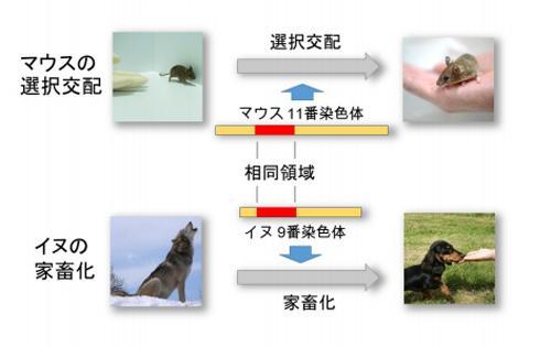 図 選択交配により自ら人に近づくマウスを作成して解析したところ、11番染色体上のゲノム領域が人に近づく行動に重要だった。また、この領域はイヌの家畜化に関するゲノム領域と相同だった(図の説明文と概念図は国立遺伝研究所など研究グループ作成・提供)