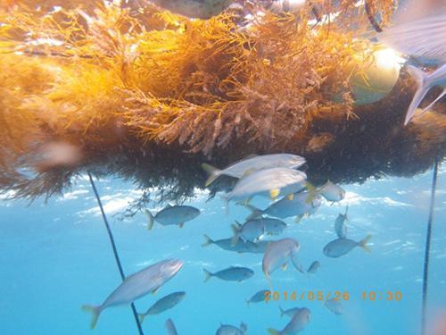 写真2 昼間に藻の周りを泳ぐ稚ブリ。