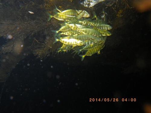 写真3 夜間の稚ブリ。藻の真下で身を寄せ合っている。