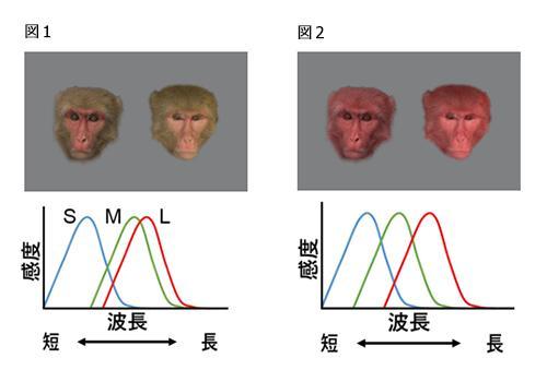 図1 写真の左が繁殖期、右が通常期のアカゲザルのメス。霊長類の目は、「青(S)」「緑(M)」「赤(L)」の3種類の細胞で色を感じる。「緑」を感じる細胞は、やや赤に近い波長に敏感に反応し、その結果、私たちの目にはこの写真のように見える。(写真と図は、いずれも平松さん提供) 図2 図1と同じ写真だが、「緑」を感じる細胞が、本来の緑に敏感に反応すると仮定した擬似画像。顔色を見分けにくい。