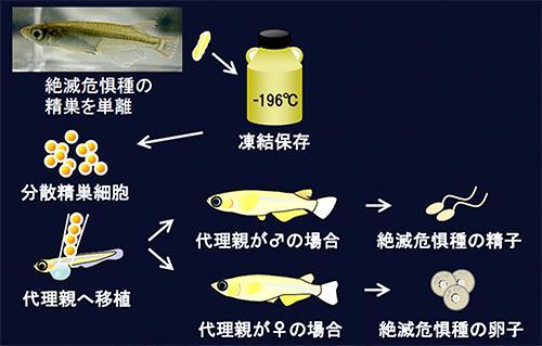 図1.絶滅危惧種のメダカの精巣から次世代メダカを産むプロセス。絶滅危惧種(東京めだかやダルマメダカ)の精巣を超低温保存して、代理親(ヒメダカ)のオスとメスに移植。2匹の中で産出した絶滅危惧種の精子と卵子を交配させると、次世代が誕生した 出典:プレスリリース
