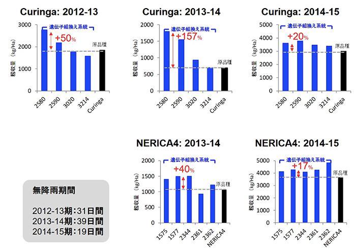 図 2.CuringaとNERICA4の2品種のイネについて、ガラクチノール合成酵素遺伝子を導入した系統と導入していない原品種の収量を比較した。青いグラフは遺伝子組換え体の収量、黒いグラフは非遺伝子組換え体(原品種) 出典:JIRCASプレスリリース