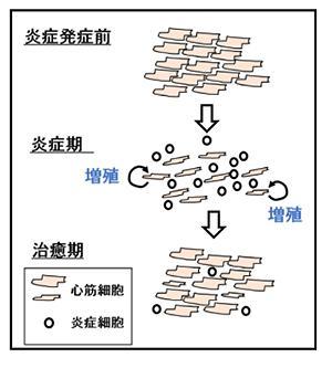 図 炎症を起こした心筋細胞が炎症回復期に増殖する概念図(大阪大学研究グループ作成・提供)