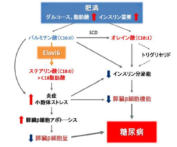図 酵素(Elovl6)が関与する脂肪酸バランス変化が糖尿病を引き起こす仕組み(提供・筑波大学/同大学研究グループ)