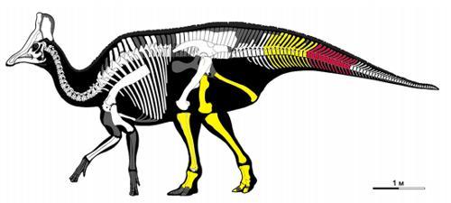 図 2014年1月までに確認された北海道・むかわ町の恐竜化石の部位。赤は尾椎骨、黄は13年に見つかった骨の部位(提供・北海道大学/むかわ町穂別博物館)