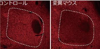 写真 左は正常なマウス、右は統合失調症モデルマウス(変異マウス)の脳の一部組織。モデルマウスはNMDA受容体の必須サブユニットNR1発現が低下している(写真・理研などの研究グループ提供)