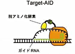図 Target-AIDの仕組み(神戸大学、同大学などの研究グループ提供)