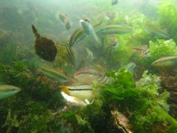 写真2 従来の潜水目視調査で観察できる魚類 (神戸大学、京都大学など研究グループ提供)