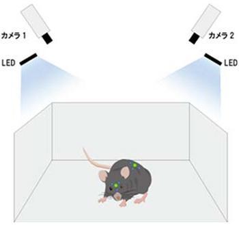 頭と背中のシンチレーター(緑)がLED光で光る。LEDの光は生物発光の光よりも弱く、ピリオド1の観察の邪魔になることはない 提供:北海道大学(プレスリリースより引用)