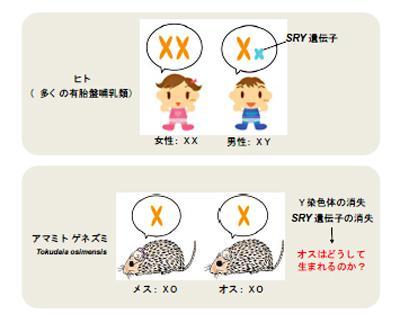 図 多くの有胎盤哺乳類ではXXでメス(女性)、XYでオス(男性)となりY 染色体上の SRY遺伝子が性を決定する。しかしアマミトゲネズミはオス、メスともに X 染色体1本だけを持つXO 型でSRY遺伝子は消失している (北海道大学、北海道大学研究グル—プ提供)
