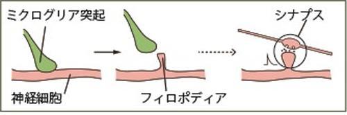 図 ミクログリア細胞がシナプス新生を促す過程の模式図(生理学研究所・山梨大学など研究グループ提供)