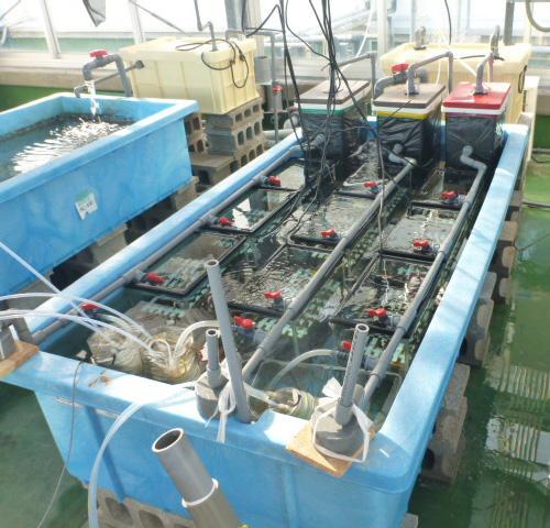 写真 4. 屋外の水槽実験システム「流水槽」。常に新鮮な海水を供給するよう独自に開発した。外気温や日光はコントロールせず、二酸化炭素濃度のみを制御する。沖縄という島の環境を利用し、より自然な状態で、二酸化炭素濃度の変化のみを捉えることができる。