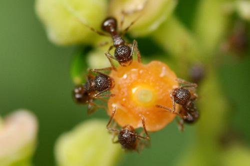 写真.科学技術振興機構(JST)資料写真のアミメアリ。実験に用いられたアリとは異なります