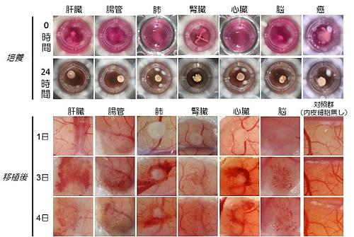 さまざまな器官の芽の創出に成功