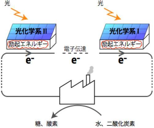 従来考えられていた光化学系ⅠとⅡの関係