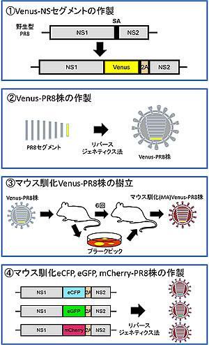 遺伝学的手法を駆使したColor-flu(カラフル)の作製方法