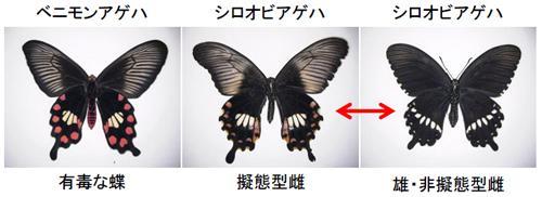 有毒なベニモンアゲハ(左)に似せたシロオビアゲハの雌の擬態型(中央)と非擬態型雌か雄(右)
