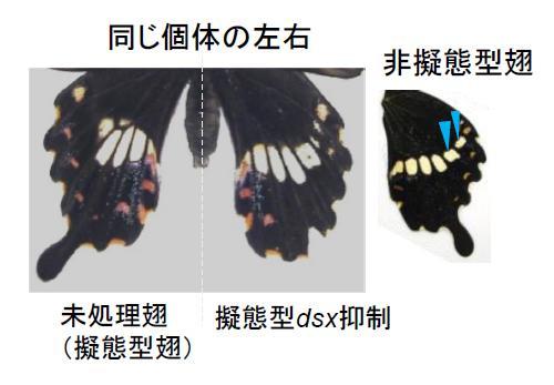今回開発した新しい遺伝子導入法で擬態型の雌個体で擬態型dsx遺伝子の働きを抑えた処理実験。左は、同一個体内の未処理羽。右は処理羽。処理した羽では赤い斑点がなくなり、白い帯状の模様が出現し、非擬態型の羽に類似するようになった。