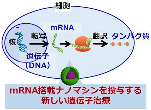細胞内のmRNAの役割