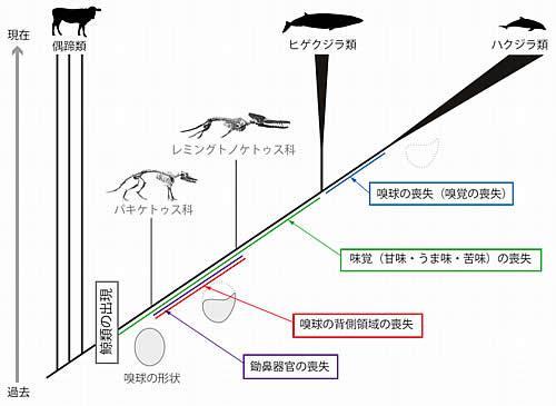 今回の比較ゲノム研究などからわかった進化の概略