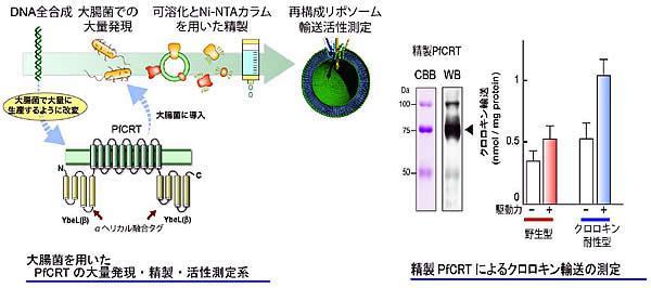 大腸菌を用いた膜タンパク質PfCRTの大量発現、精製、輸送活性測定システム