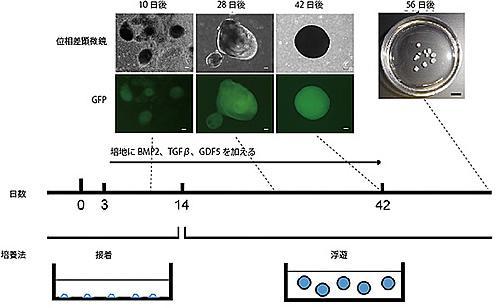 ヒトiPS細胞からガラス軟骨組織を誘導するための培養方法。ヒトiPS細胞から軟骨細胞へ向けて分化誘導を始めてから3日後に3種類のタンパク質(BMP2、TGFβ、GDF5)を加えた培地で接着培養を行った。14日後からは浮遊培養に移した。日数が進むにつれ、緑色の蛍光を発して、軟骨細胞であることを示す細胞が増えてくる(上部の組み写真、スケールバー50μm)。56日後には1〜2mmの大きさの軟骨組織塊が直径3.5cmの培養皿内にみられる(右上写真、スケールバー5mm)。