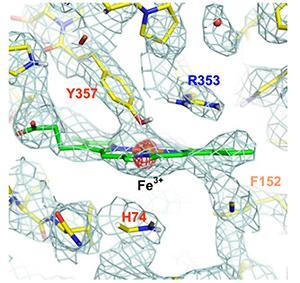 図3. カタラーゼの活性部位の静電ポテンシャルマップ。8Å〜3.2Å分解能の電子線回折から得られたマップ。酵素活性部位の中央にあるヘムの鉄の荷電状態に関する情報(赤い密度)が得られた。アミノ酸の略号は、Y: チロシン、R:アルギニン、F:フェニルアラニン、H:ヒスチジンを表す。(いずれも提供:理化学研究所)