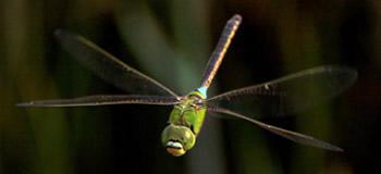 飛翔するギンヤンマ。33種類のオプシン遺伝子があり、高度に発達した複眼を持つ。