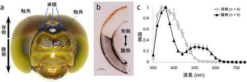 トンボの複眼の構造と光の応答感度。(a)アキアカネの頭部、(b)アキアカネ複眼の断面図、(c)光の波長ごとの複眼の応答感度。