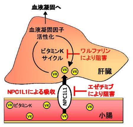 今回の研究で実証されたビタミンKの小腸吸収と肝臓でのビタミンKサイクルの概要